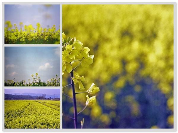 菜の花散歩  2007