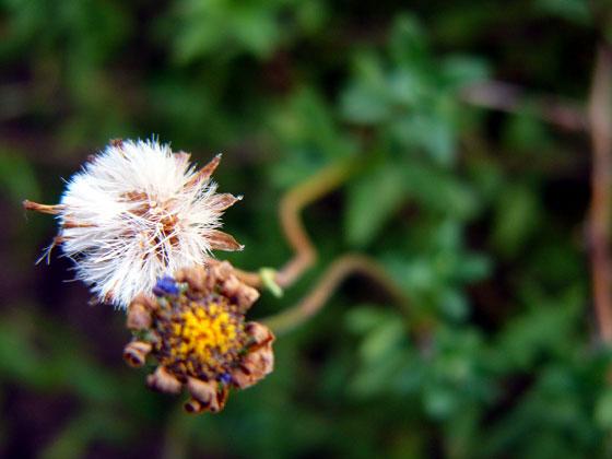 ブルーデージーの種