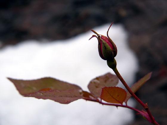 雪の中でバラの蕾