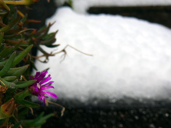 White & Pink (雪とマツバギク)